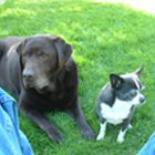 Nanny Dolittle client - Chocolate lab